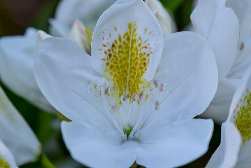 Macchia gialla del rododendro fotografie stock