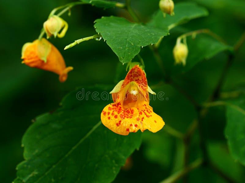 Macchiato tocchimi non fiore in piena fioritura fotografia stock libera da diritti