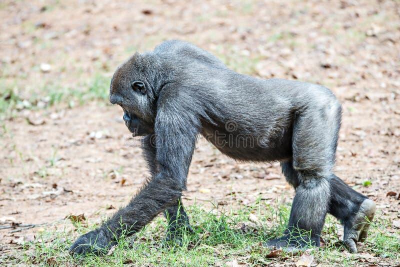 Macchietta dell'alimento di raccolto della scimmia della gorilla fuori dalla terra immagini stock libere da diritti