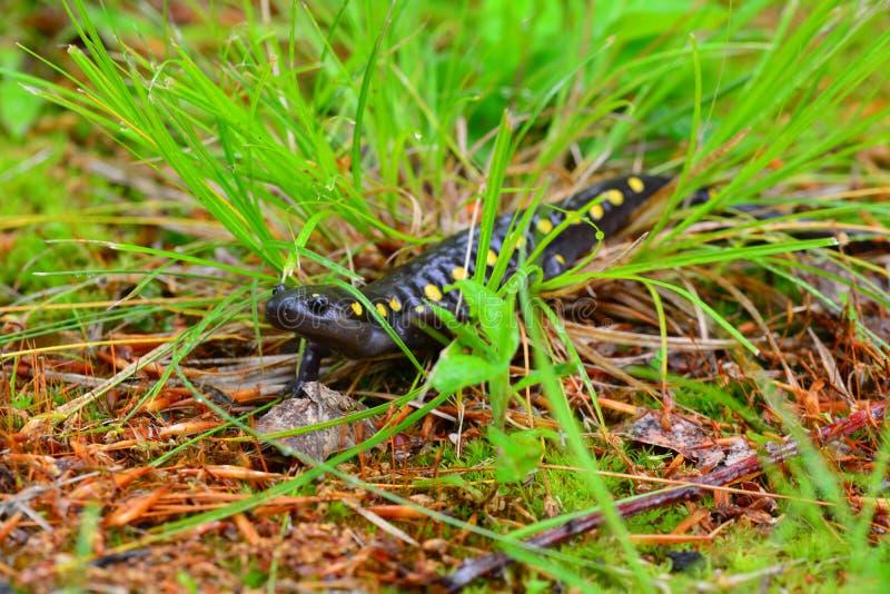 Macchina fotografica d'avvicinamento macchiata sveglia della salamandra; immagine stock