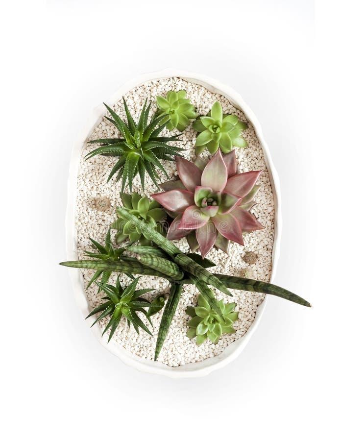 Maceta blanca de cerámica con la variedad de succulents aislados en el fondo blanco con la trayectoria de recortes foto de archivo