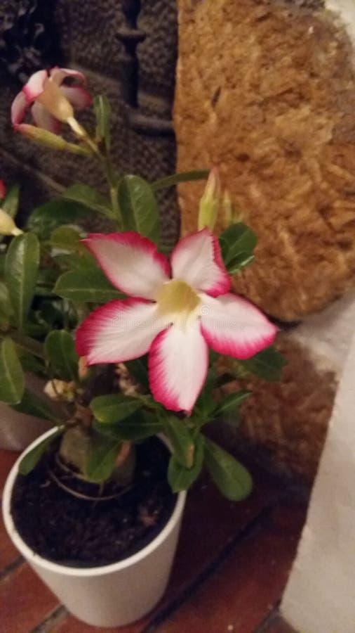 Maceta flor fotografering för bildbyråer