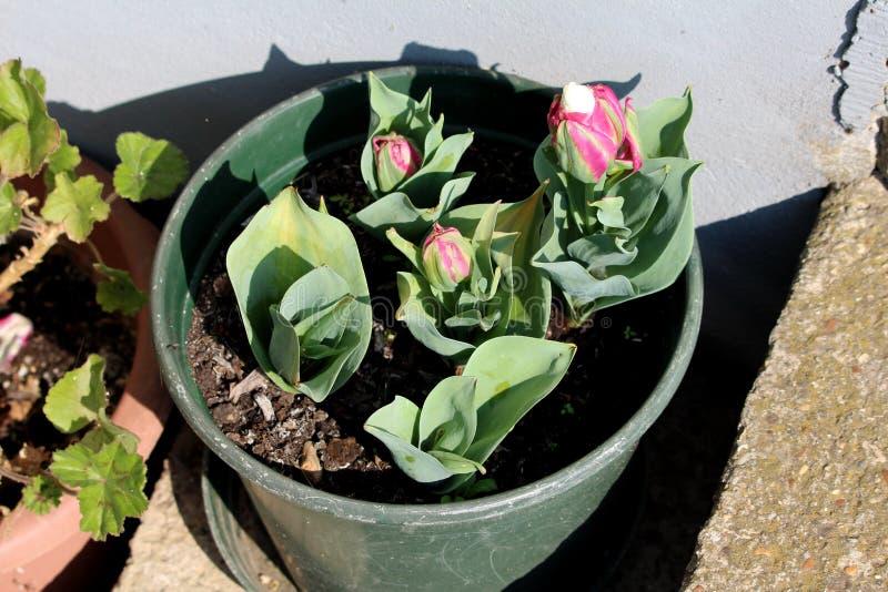 Maceta plástica verde en el lado de los pasos concretos llenados de las pequeñas plantas parcialmente abiertas del tulipán del he fotos de archivo