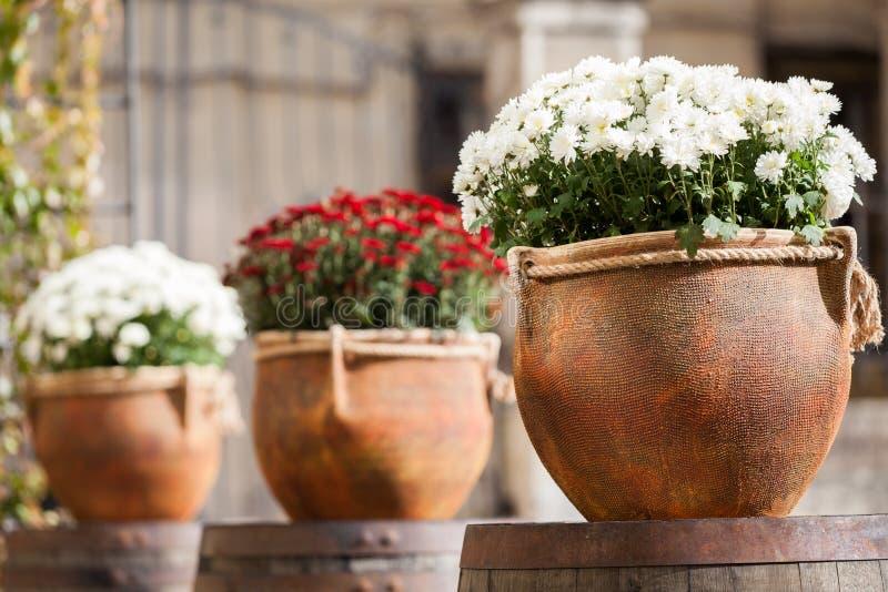 Macetas grandes con blanco y los crisantemos de Borgoña Venta de flores fotos de archivo libres de regalías