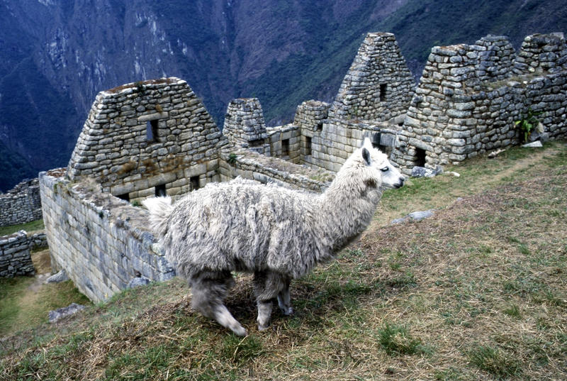 Mach Picchu i lama, Peru obrazy royalty free