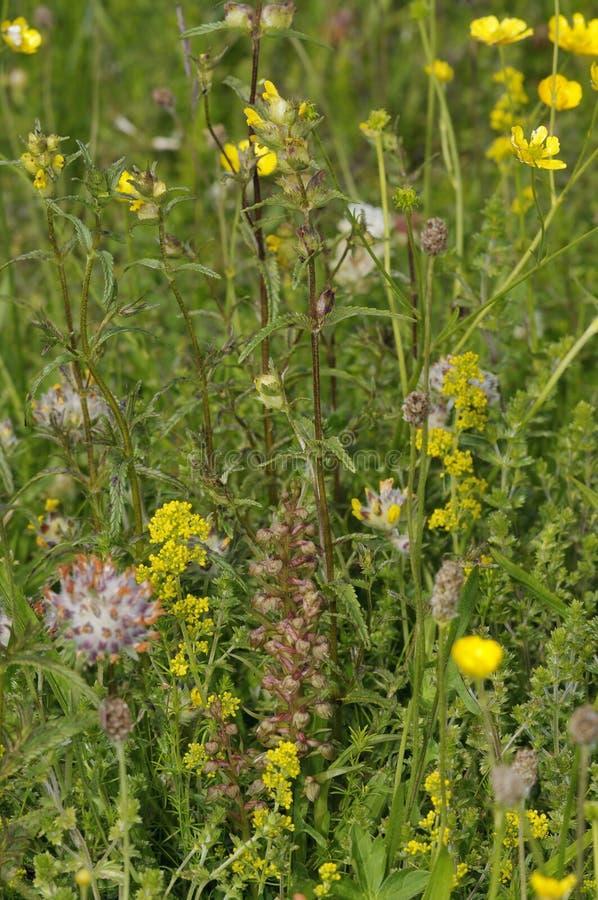 Machair obszaru trawiastego kwiaty obraz royalty free