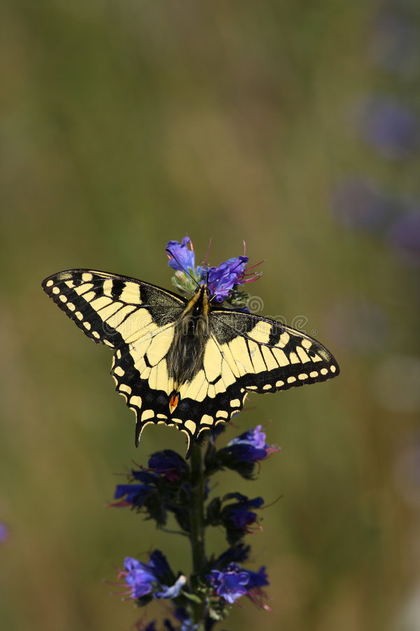 Machaon butterfly. A Machaon butterfly sitting on a blue flower stock image