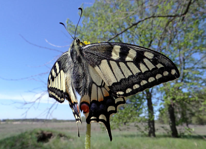 Machaon butterfly. Gorgeous beautiful machaon in late April on a meadow not far from the pine forest royalty free stock photography