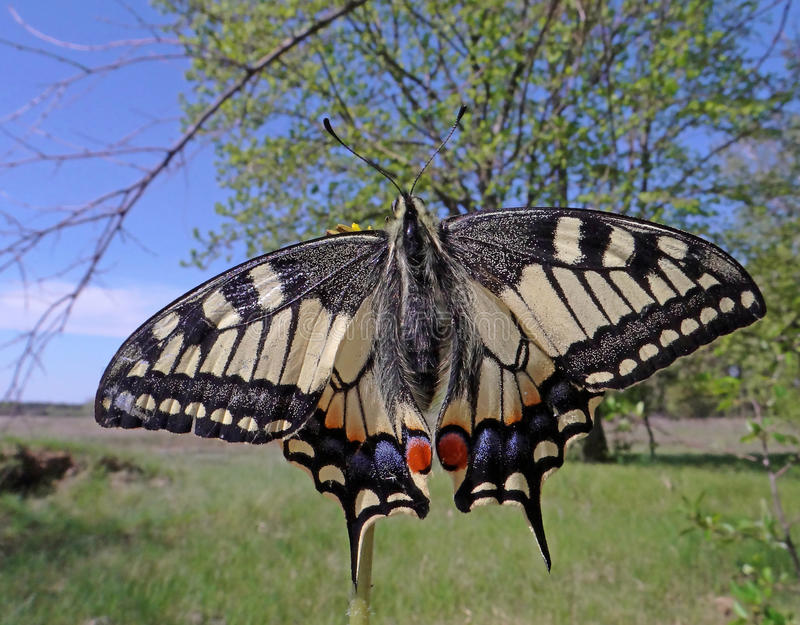 Machaon butterfly. Gorgeous beautiful machaon in late April on a meadow not far from the pine forest royalty free stock image