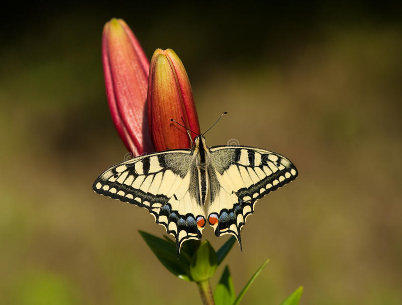 Download Machaon butterfly on Lily stock photo. Image of gathering - 27409004