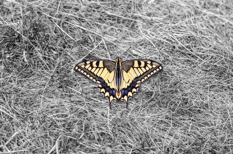 Machaon butterfly. Papilio machaon butterfly on black and white background. Machaon was added to Red list stock photos