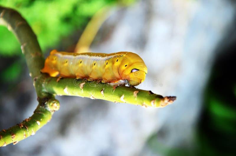 Machaon de los lepidópteros o de Papilio foto de archivo