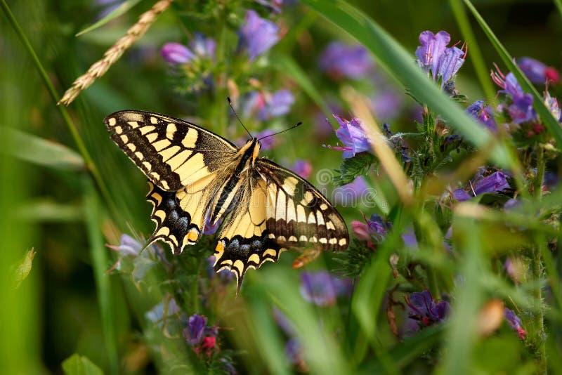 Machaon de Papilio, campo común Swallowtail amarillo de Swallowtail del europeo Mariposa en la flor fotos de archivo libres de regalías