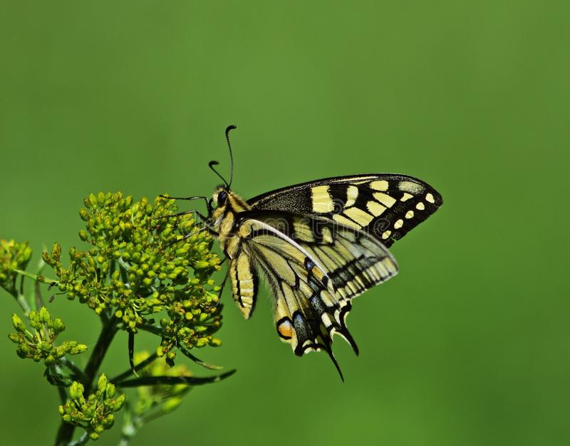 Machaon de Vieux Monde - machaon de Papilio images stock
