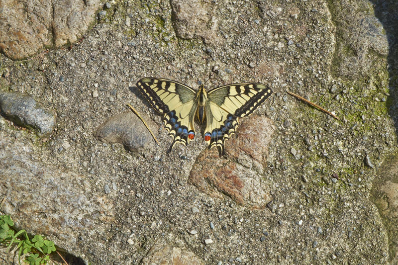 Machaon di Papilio della farfalla immagine stock libera da diritti