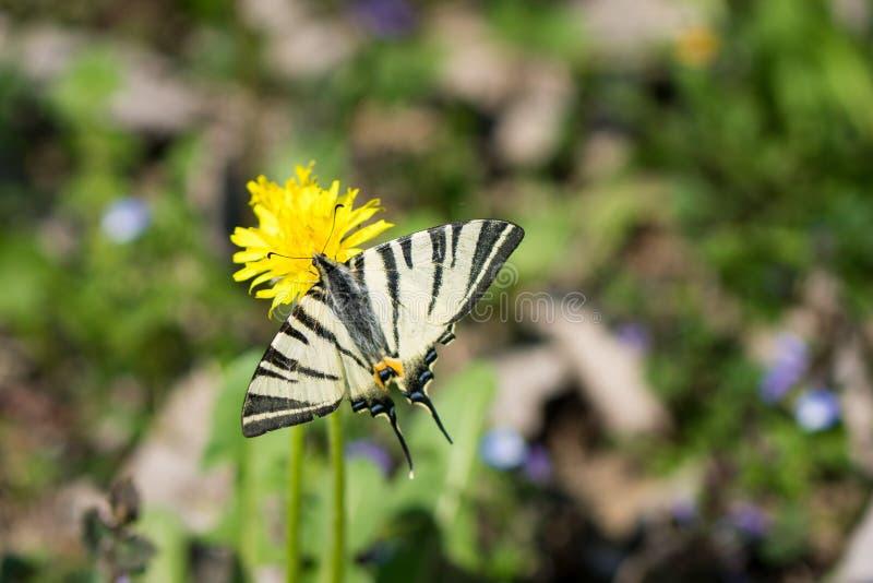 Machaon di Papilio della farfalla, condizione bianca comune di coda di rondine sul fiore giallo immagine stock libera da diritti