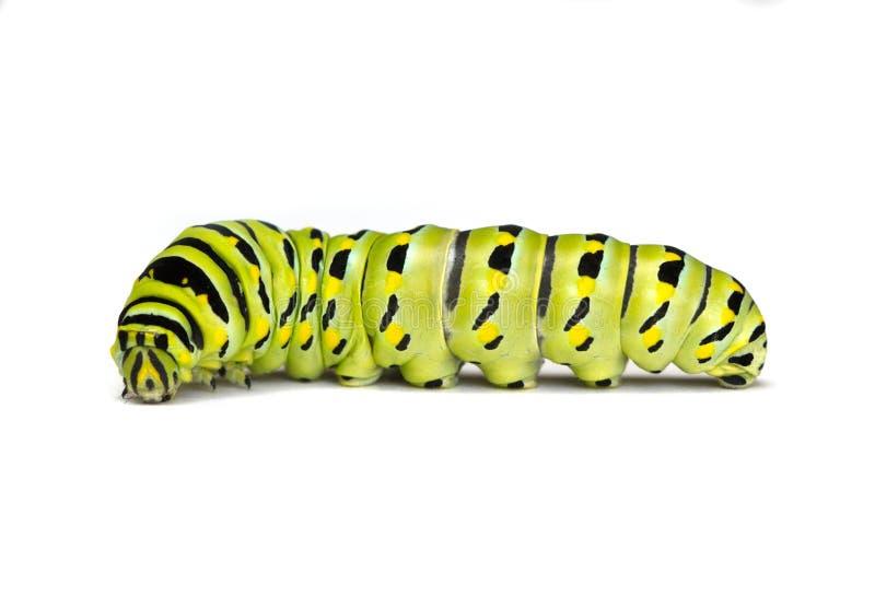 Machaon noir Caterpillar sur un fond blanc photos libres de droits