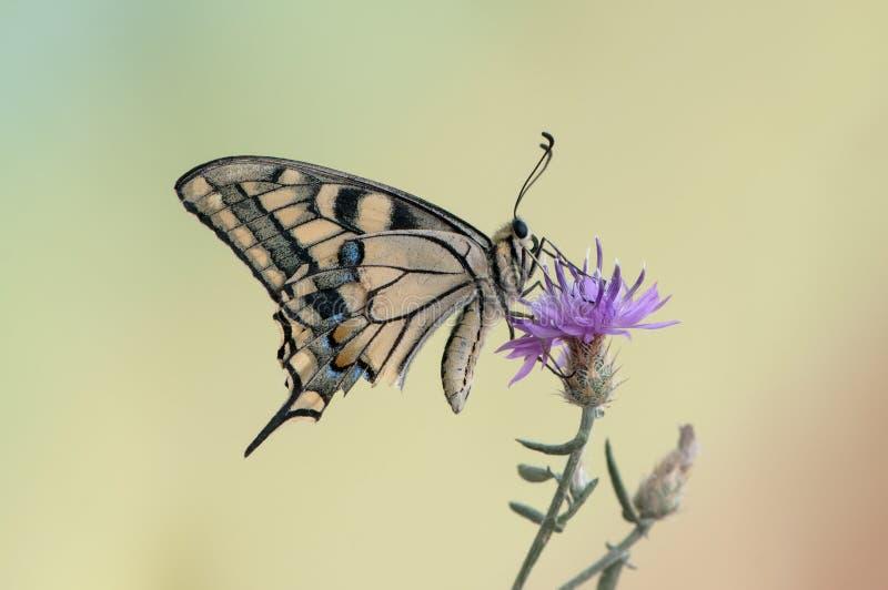 machaon Papilio бабочки на цветке распространило свои крылья на летний день стоковое изображение