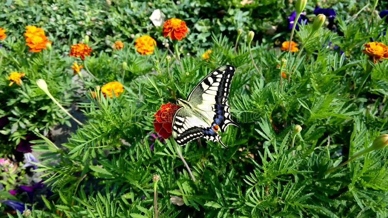 Machaon Papilio стоковые фото