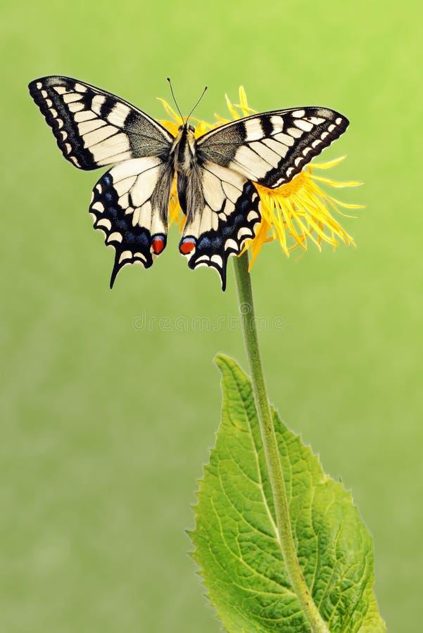 machaon papilio swallowtail στοκ εικόνα με δικαίωμα ελεύθερης χρήσης