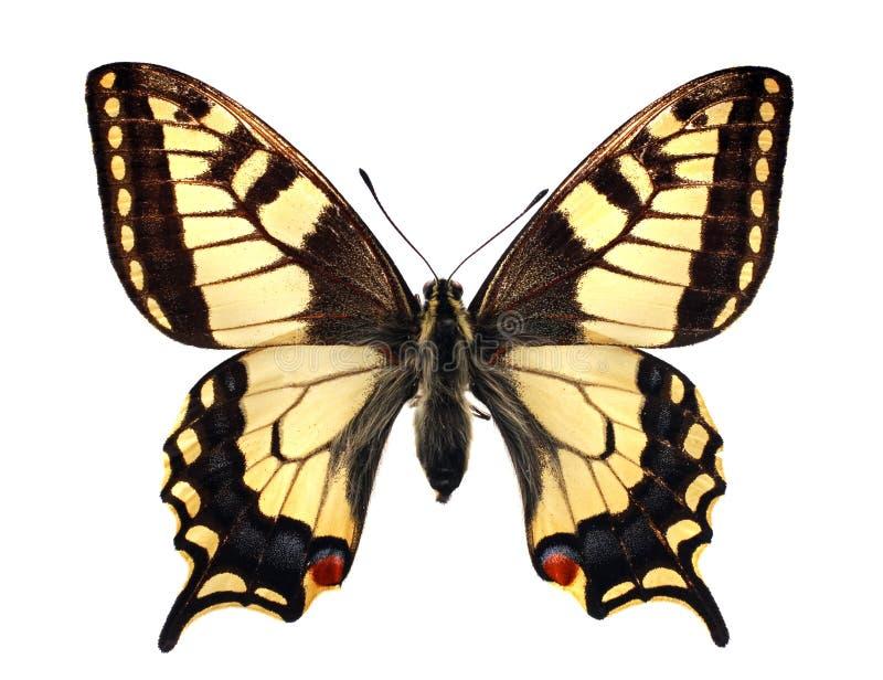 machaonpapilioswallowtail arkivbild