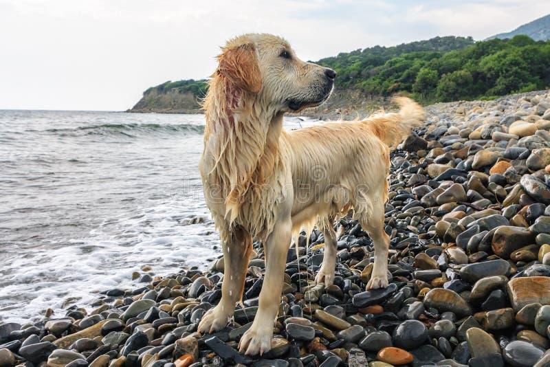 Machen Sie den hellbraunen Hund nass, der auf steinigem Strand von Küste Schwarzen Meers am Sommer steht lizenzfreie stockfotografie