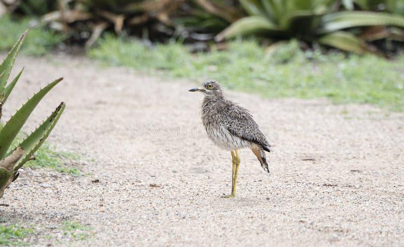Machen Sie die beschmutzte Stark-Knie Burhinuscapensis nass, die auf einem Weg steht lizenzfreies stockfoto