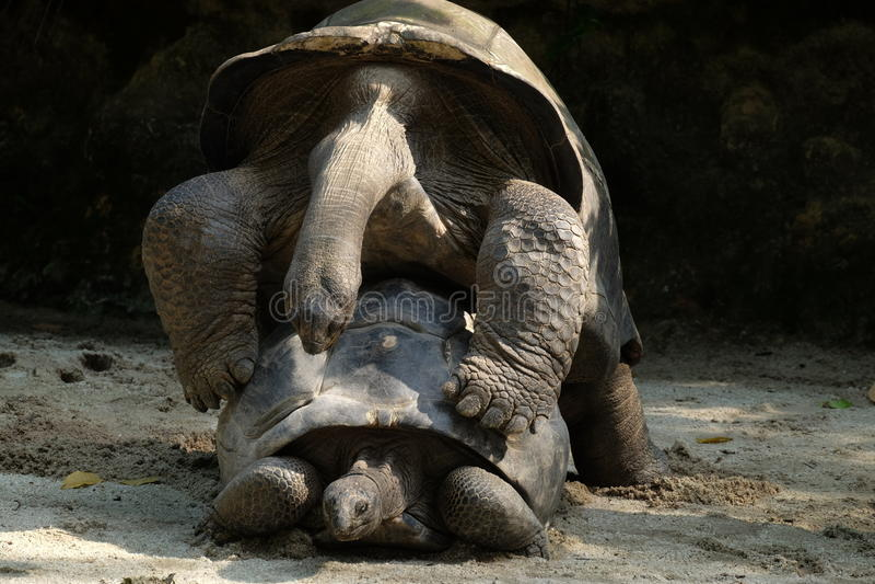 Machen Sie Liebes-nicht kriegs- Schildkröten stockbild