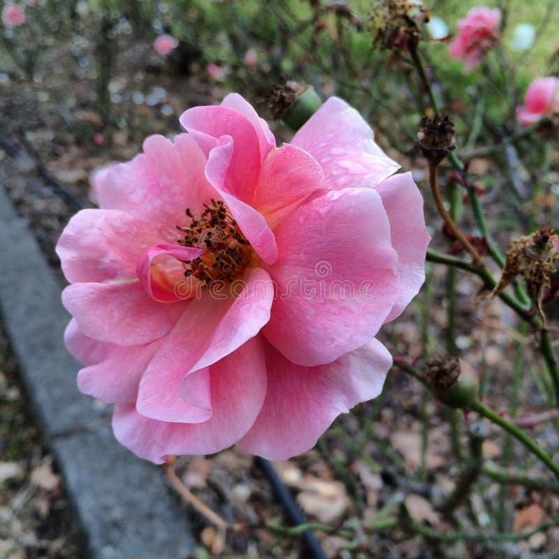 Machen Sie Rosafarbenes naß lizenzfreies stockbild