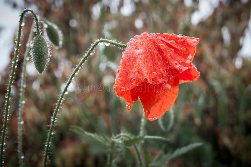 Machen Sie von der Regenmohnblume nass, die Blume den Kopf beugte, sadnes symbolisiert lizenzfreies stockfoto