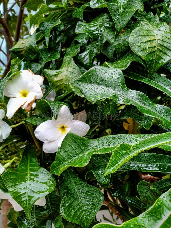 Machen Sie weiße Blume und Blätter in der Regenzeit nass, die im Garten gefangennahm lizenzfreie stockfotografie