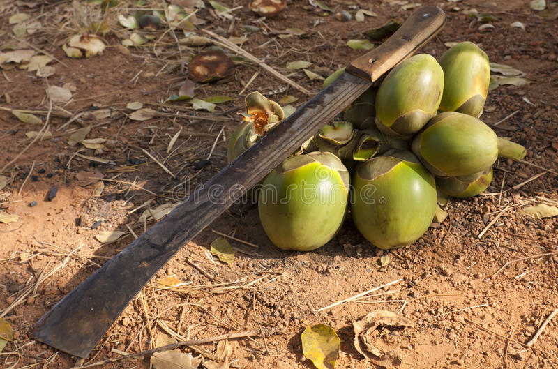 Machete and palm fruits royalty free stock images