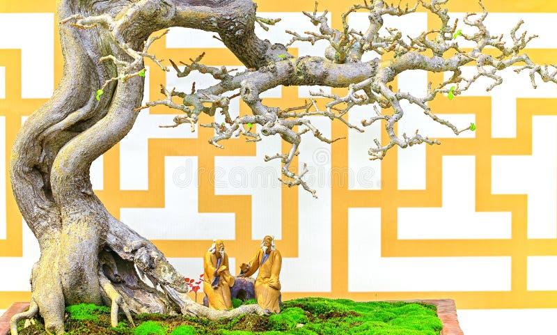 Machilus-Bonsaibaum im Tongefäß stockfotos