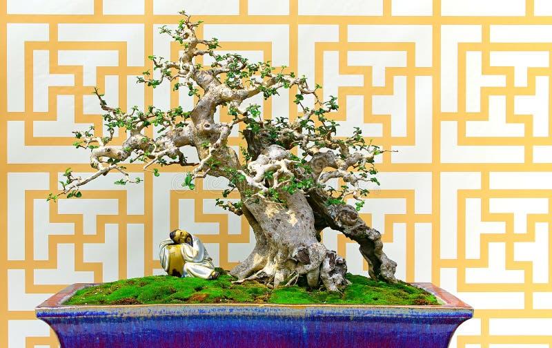 Machilus bonsaiträd i lerakruka royaltyfri foto