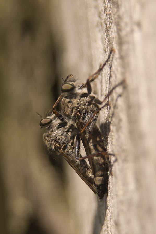 Download Machimus στοκ εικόνες. εικόνα από έντομο, πανίδα, ενώ - 17059156