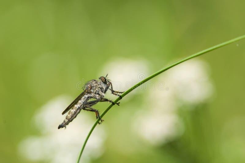 Download Machimus atricapillus στοκ εικόνες. εικόνα από ενώ, έντομα - 17058900