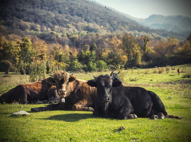 Machista-toros foto de archivo libre de regalías