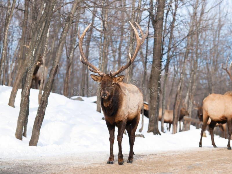 Macho alfa da rena com antlers gigantes fotografia de stock royalty free