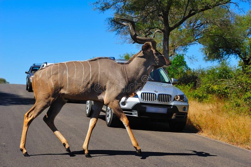 Macho de Kudu que cruza a estrada imagens de stock