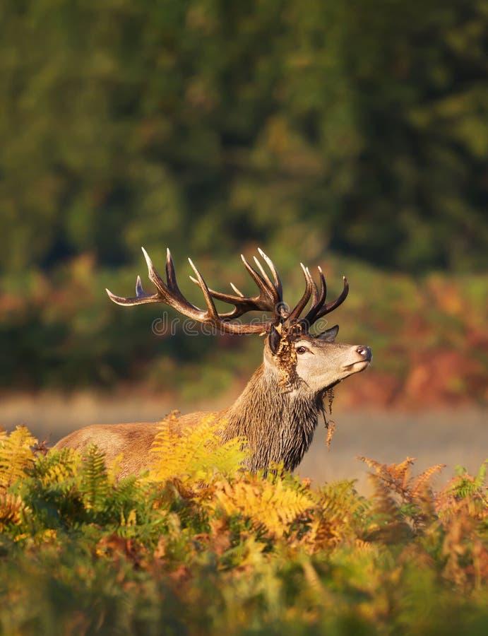 Macho de los ciervos comunes con la vegetación en las astas durante celo imagen de archivo libre de regalías
