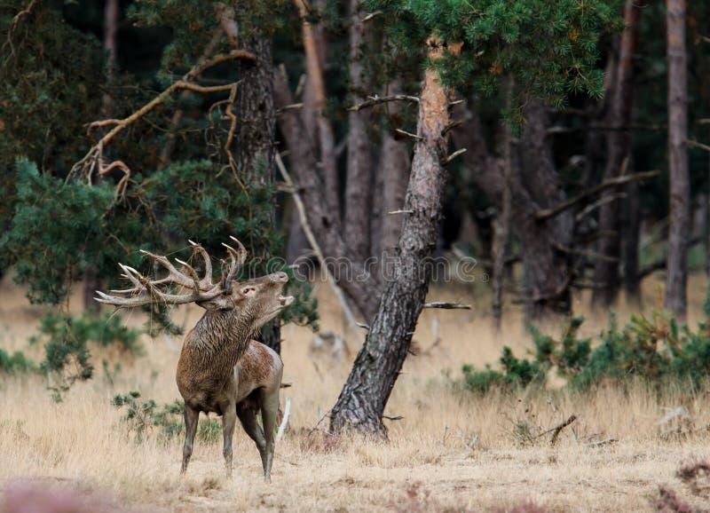 Macho de los ciervos comunes en celo imágenes de archivo libres de regalías