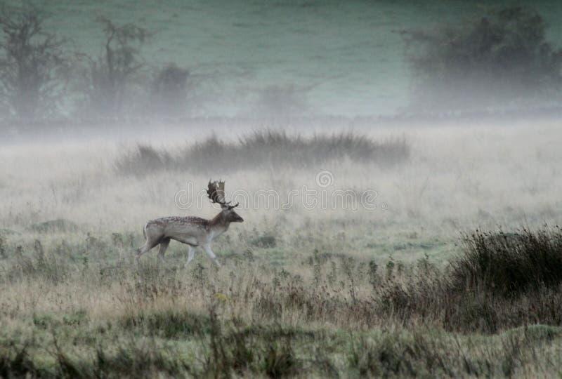 Macho de los ciervos en barbecho en niebla del otoño fotografía de archivo