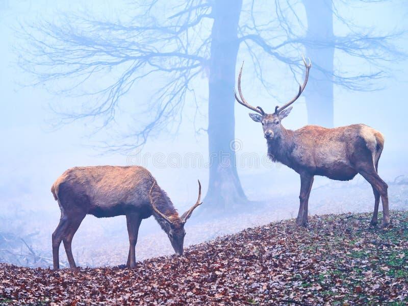 Macho de los ciervos en la rodera del otoño foto de archivo