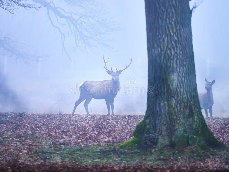 Macho de los ciervos en la rodera del otoño imagenes de archivo