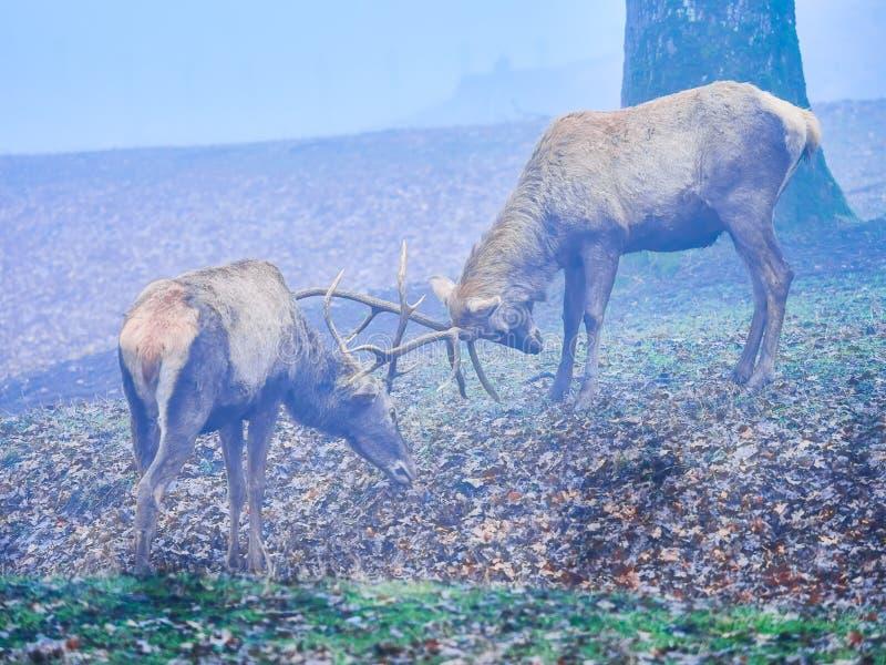 Macho de los ciervos en la rodera del otoño imagen de archivo