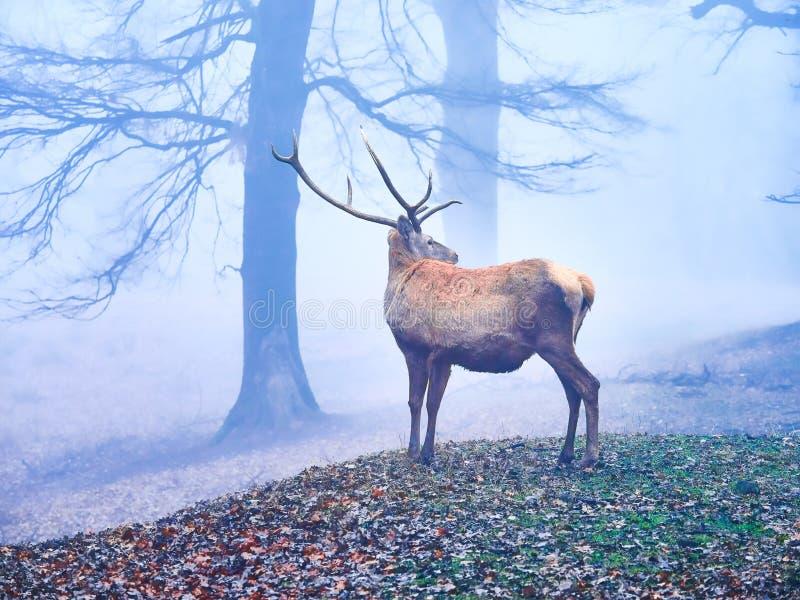 Macho de los ciervos en la rodera del otoño fotografía de archivo libre de regalías