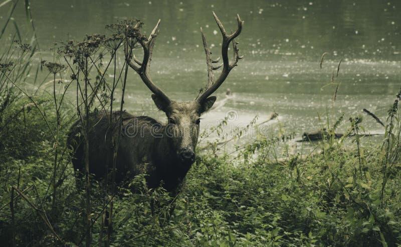 Macho de los ciervos que mira la cámara en el bosque foto de archivo