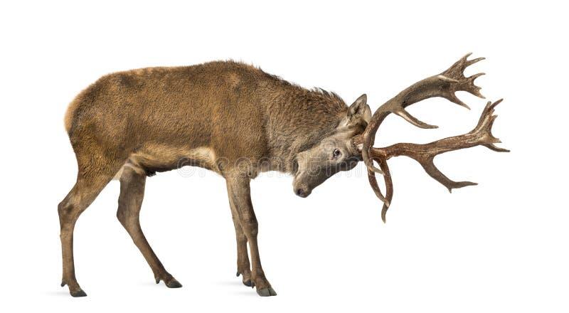 Macho de los ciervos rojos fotografía de archivo