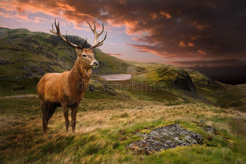 Macho de los ciervos rojos en paisaje dramático de la montaña imagenes de archivo