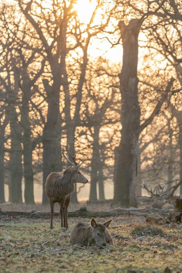 Macho del elaphus del Cervus de los ciervos comunes imagen de archivo libre de regalías